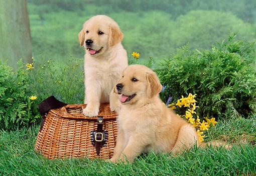 ??? Quality G.o.l.d.e.n R.e.t.r.i.e.v.e.r Puppies:???contact us at(360) 646-8485