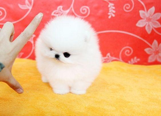 Cute P.o.m.e.r.a.n.i.a.n Puppie.s (208) 627-4295