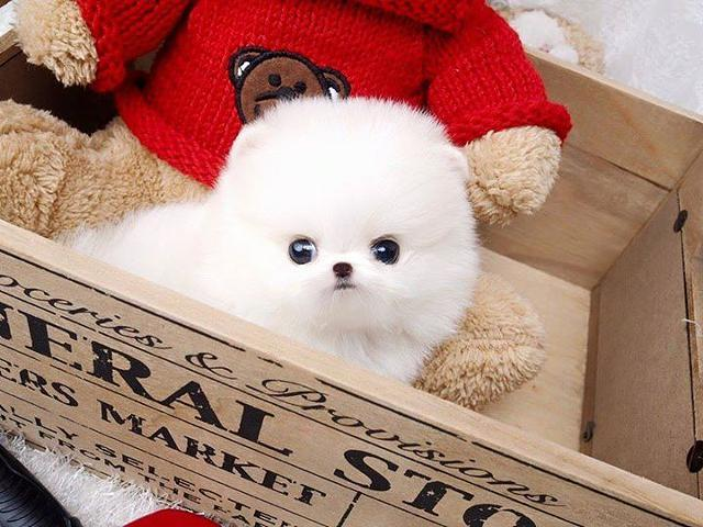 ***Gorgeous Teacup Pomeranian puppy***