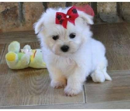 Adorable outstanding Maltese puppies ready for their new forever lovely home