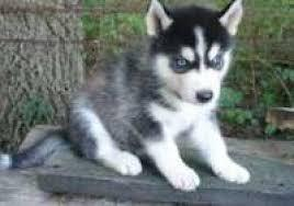 Quality siberians huskys Puppies:contact us at (612) 213-5061