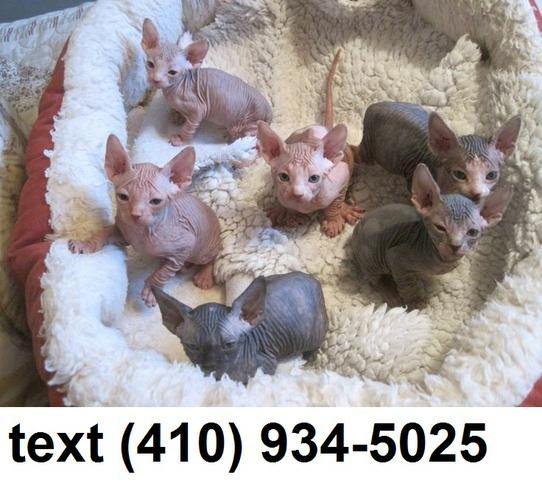 PennySaver | Lovely sphynx kittens for sale  in Charleston