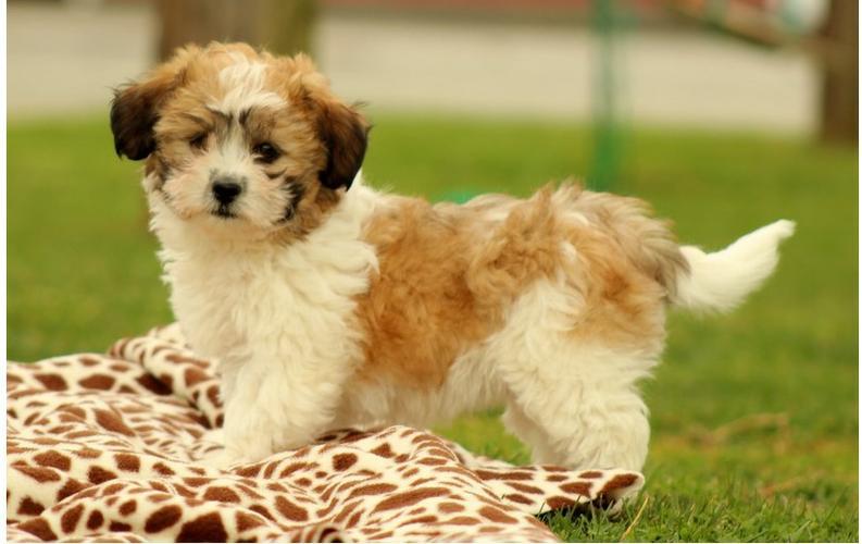 ** Shih Tzu Puppies;(575) 291-3554
