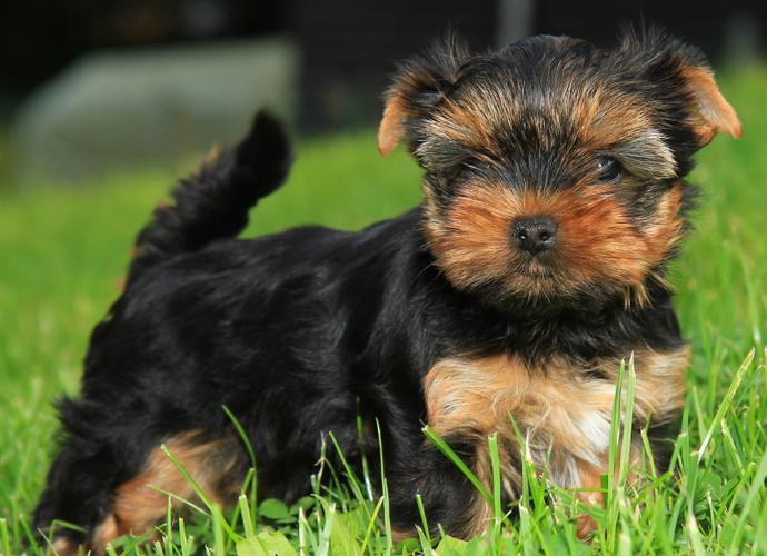# #  Quality Teacup Yorkies Puppies:....**