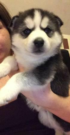 fine registered husjyss puppiesss