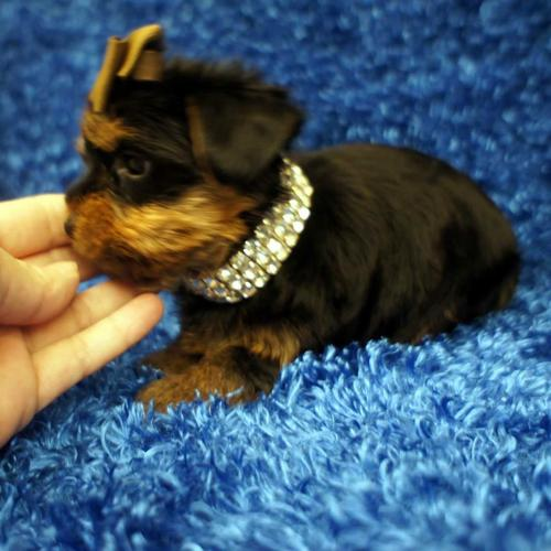 Top Quality Short Y.o.r.k.i.e puppies (303) 569-9308