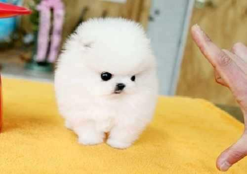 !!Male and Female Pomeranianss Puppies Available 612 293 2194