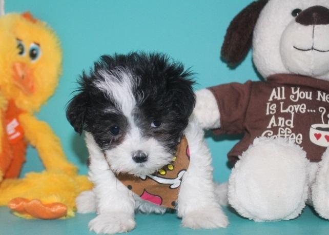 Super cut male and female shih poo puppies..(614)398 0887
