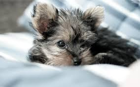 Yorks-hire Terrier puppies (651) 347-6712