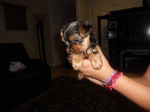 CUTE Y.O.K.I.E. Puppies: contact us at(980) 404-1919