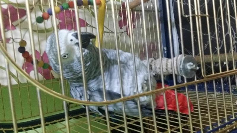 Talk -(Tame) -African Grey Parrots  (757) x 276 x 1708