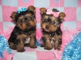 ?Y.o.R.k.i.e P.upp.i.e.s For F.r.e.e,#((678 881 4735/Ready Now 12 Weeks Old