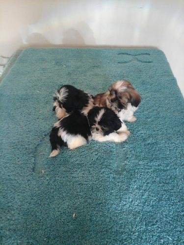 S.h.i.h T.z.u P.upp.i.e.s For F.r.e.e, Ready Now 3 months Old # contct ***(303) 536-8154