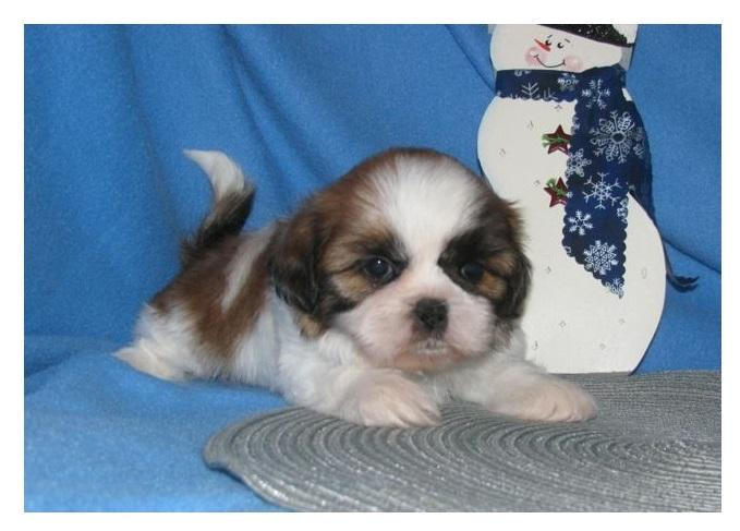 S.h.i.h T.z.u P.upp.i.e.s For F.r.e.e, Ready Now 3 months Old # (707) 840-8141