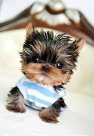 * # #  Quality Teacup Yorkies Puppies:....** 786-509-4680