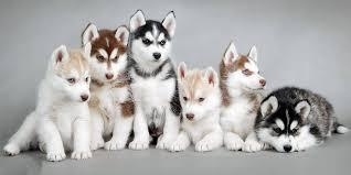 FREE Quality siberians huskys Puppies:contact us at(323) 796-8939
