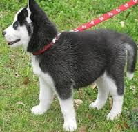 FREE Quality siberians huskys Puppies:contact us at(914) 281-1465
