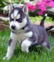 FREE Quality siberians huskys Puppies:contact us at(909) 491-4920