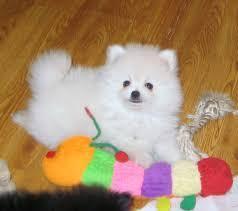 @Quality Female and Male P.o.m.e.r.a.n.i.a.n Puppies#770-288-9425