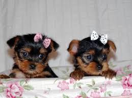 cute free SWEET Y.O.R.K.I.E Puppies:???(770) 232-6588