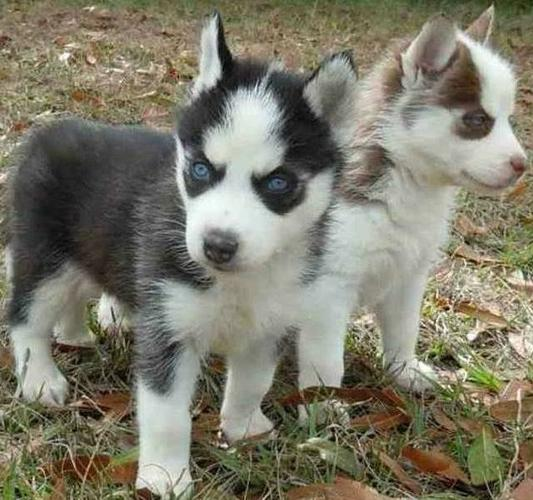 Charming Blue Eyed siberians huskys Puppies!!!(412) 294-9855