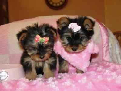 Cute Quality M.o.r.k.i.e P.u.p.s(919) 391-8697