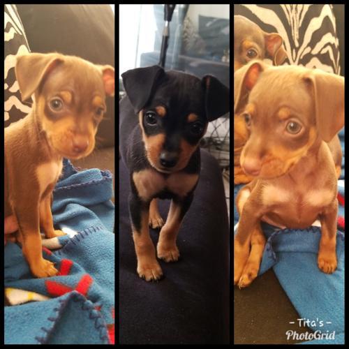 Min Pin puppies