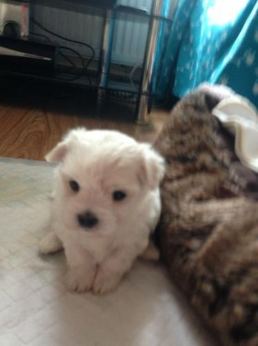 Top Quality Malteses Puppies:....contact us at(515) 605-7064