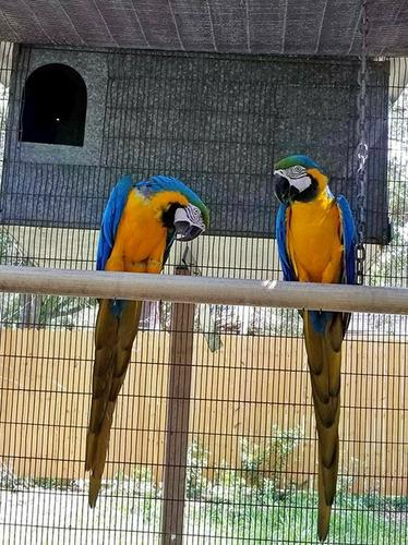 Blue and Gold Macaw birds