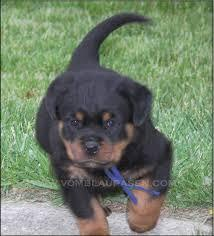 Male and Female R.o.t.t.w.e.i.l.e.r puppies (651) 347-6712