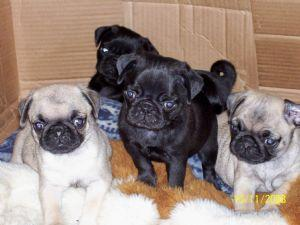 CUTIE P.UG Puppies: contact us at (202) 750-9968