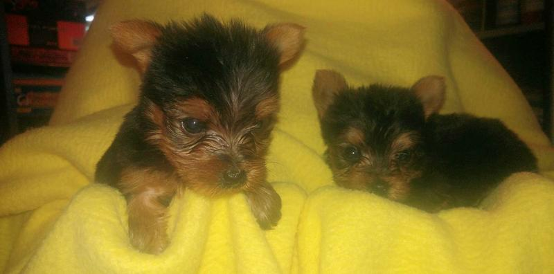 $200 Tea Cup yorkiess puppies (203) 296-0014