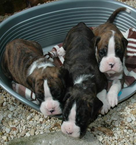 Excellent Boxer Puppies Available