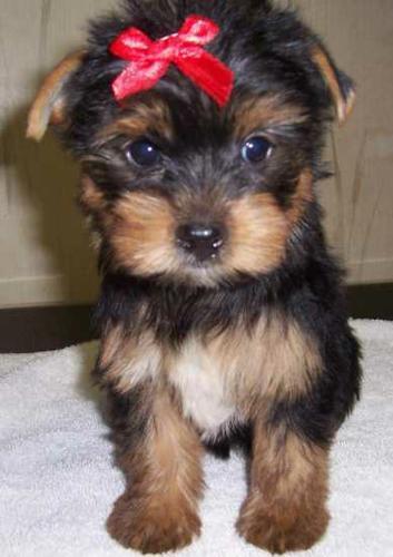 2 Y.O.R.K.I.E Puppies..