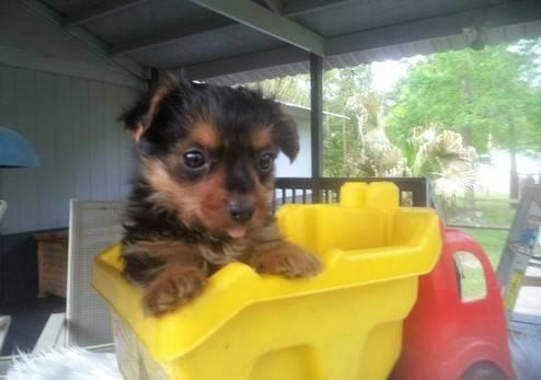 ?Y.o.R.k.i.e P.upp.i.e.s For F.r.e.e, Ready Now 12 Weeks Old # 915 519 2179