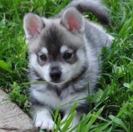 Siberian Husky Puppies Blue eyes Ready email us..murielminaj@gmail.com