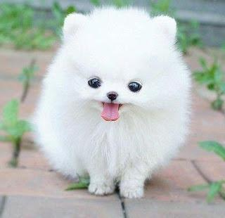 Amazing Pomeranian available