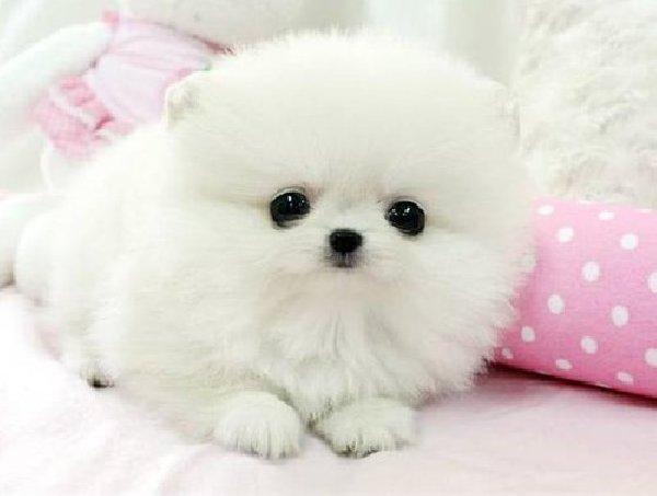 Amazing Pomeranian available