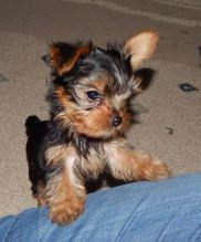 Male and female Teacup Yorkie Ready