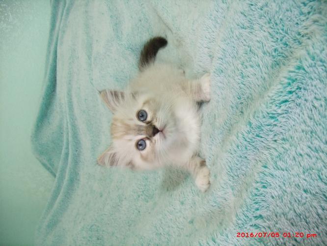 Ragdoll kittens- 8 Weeks Old