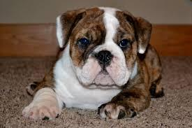 Free Cute E n g l i s h B u l l d o g for a d o p t i o n if interested contact me thanks(760) 377-