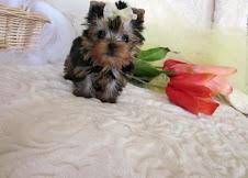 Quality.charming male and female teacup yorkie puppies (443) 512-2512