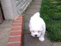 LOVELY FAMILY M.A.L.T.E.S.E. PUPPIES SMS (302) 595-1097