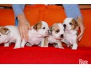 Gorgeous English B.u.l.l.d.o.g Puppies Available