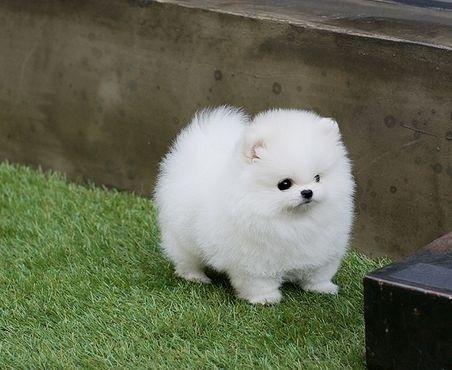 Guarantee d P.o.m.e.r.a.n.i.a.n Puppie.s puppies!!!sms (252) 678-5431