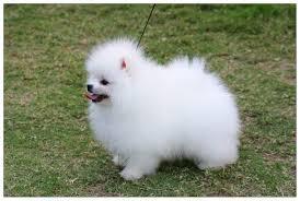 Sweet .Mini P.o.m.e.r.a.n.i.a.n puppies!!!sms (508) 622-5152