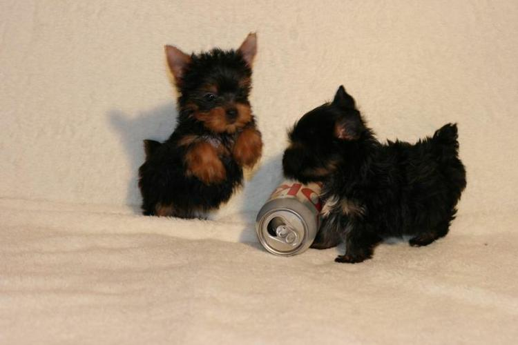 Gorgeous male and female Y.O.R.K.I.E PUPPIES 5072998075