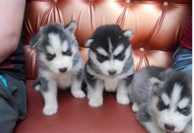 CUTE S.I.B.E.R.I.A.N H.U.S.K.Y Pups**(443)6717651 ***