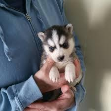 Gorgeous pomsky puppies looking for good homes//(302) 348-9485