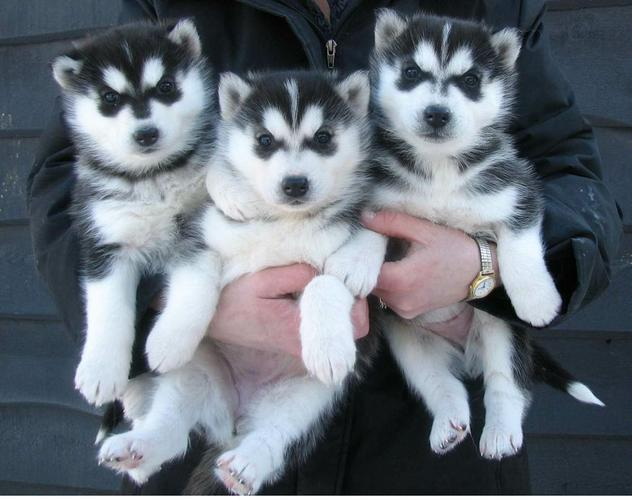 Husky puppies looking for new homes